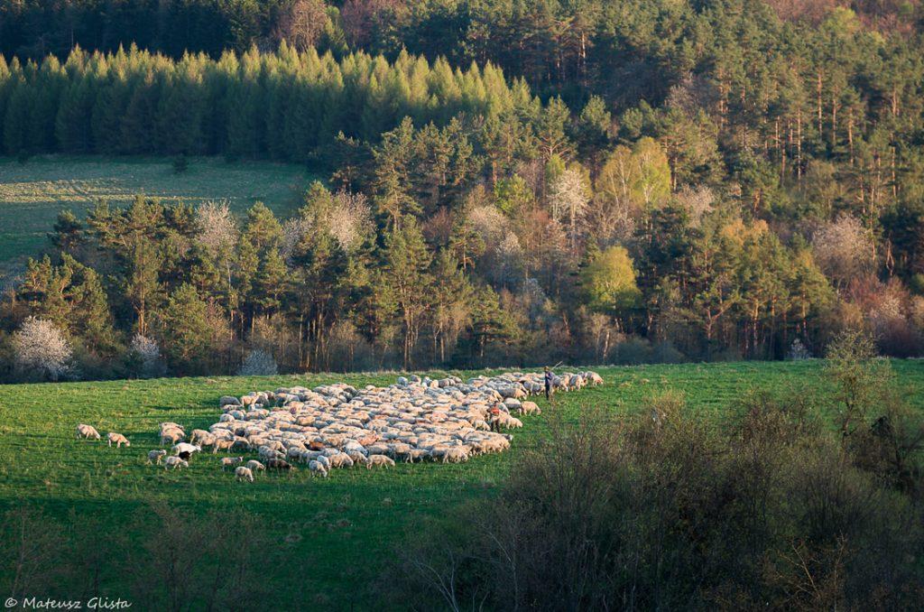 Wypas owiec